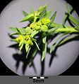 Euphorbia exigua sl1.jpg