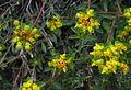 Euphorbia flavicoma12.JPG