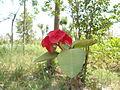 Euphorbia milii red colour 1.JPG