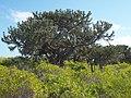 Euphorbia stenoclada.jpg
