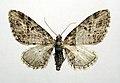 Eupithecia exiguata.jpg