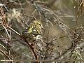 Eurasian Siskin (Spinus spinus) (31177861025).jpg