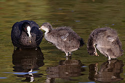 Eurasian coots - juveniles with adult.jpg