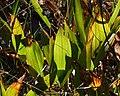 European Lily of the Valley (Convallaria majalis) - Oslo, Norway 2020-08-30.jpg