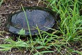 European Pond Turtle - Emys orbicularis - Европейската блатна костенурка.jpg