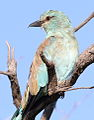 European roller, Coracias garrulus at Borakalalo National Park, Northwest Province, South Africa (16178398606).jpg