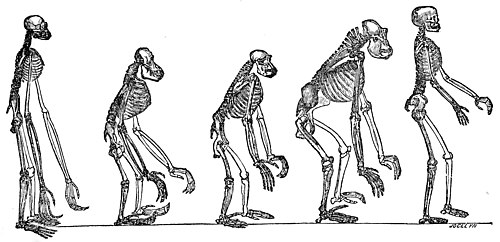black and white line drawing of five primate skeletons standing upright