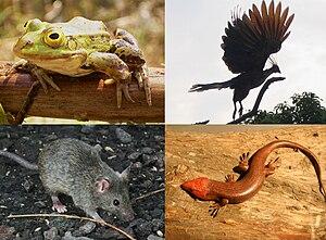 Beispiele für die vier traditionellen Klassen der Tetrapoden. Oben: Frosch (Amphibien), Hoatzin (Vögel) Unten: Maus (Säugetiere), Skink (Reptilien)