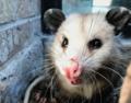 FWNCR2 Opossum.png