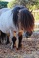 Falabella horse in Nice.jpg