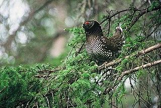 Siberian grouse Species of bird