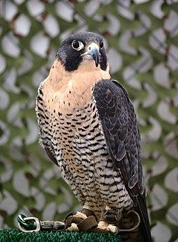 Falco peregrinus tethered
