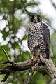 Falcon on a Branch (19246523821).jpg