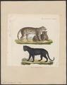Felis pardus - 1834 - Print - Iconographia Zoologica - Special Collections University of Amsterdam - UBA01 IZ22100218.tif