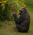Female Gorilla (3846221441).jpg