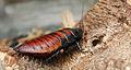 Female Madagascar hissing cockroach2.jpg