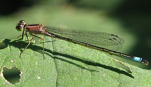 Female of Ischnura elegans.jpg