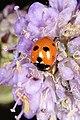 Femprikket marihøne (Coccinella quinquepunctata) (4910739763).jpg
