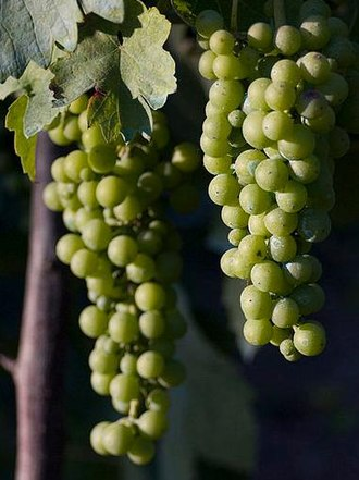 Fiano (grape) - Fiano grapes pre-veraison