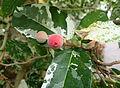 Ficus aspera kz1.JPG