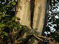 Ficus virens ? (3188520518).jpg