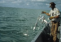 Fish and Wildlife Service worker on boat checking gill net full of fish.jpg