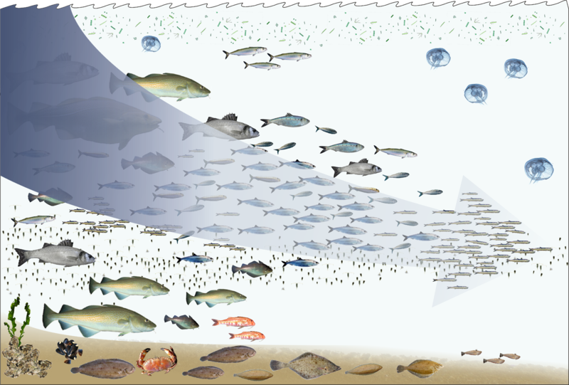 File:Fishing down the foodweb.png
