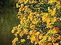 Flôres amarelas. - panoramio (3).jpg