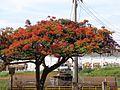 Flamboyant flores árvore.jpg