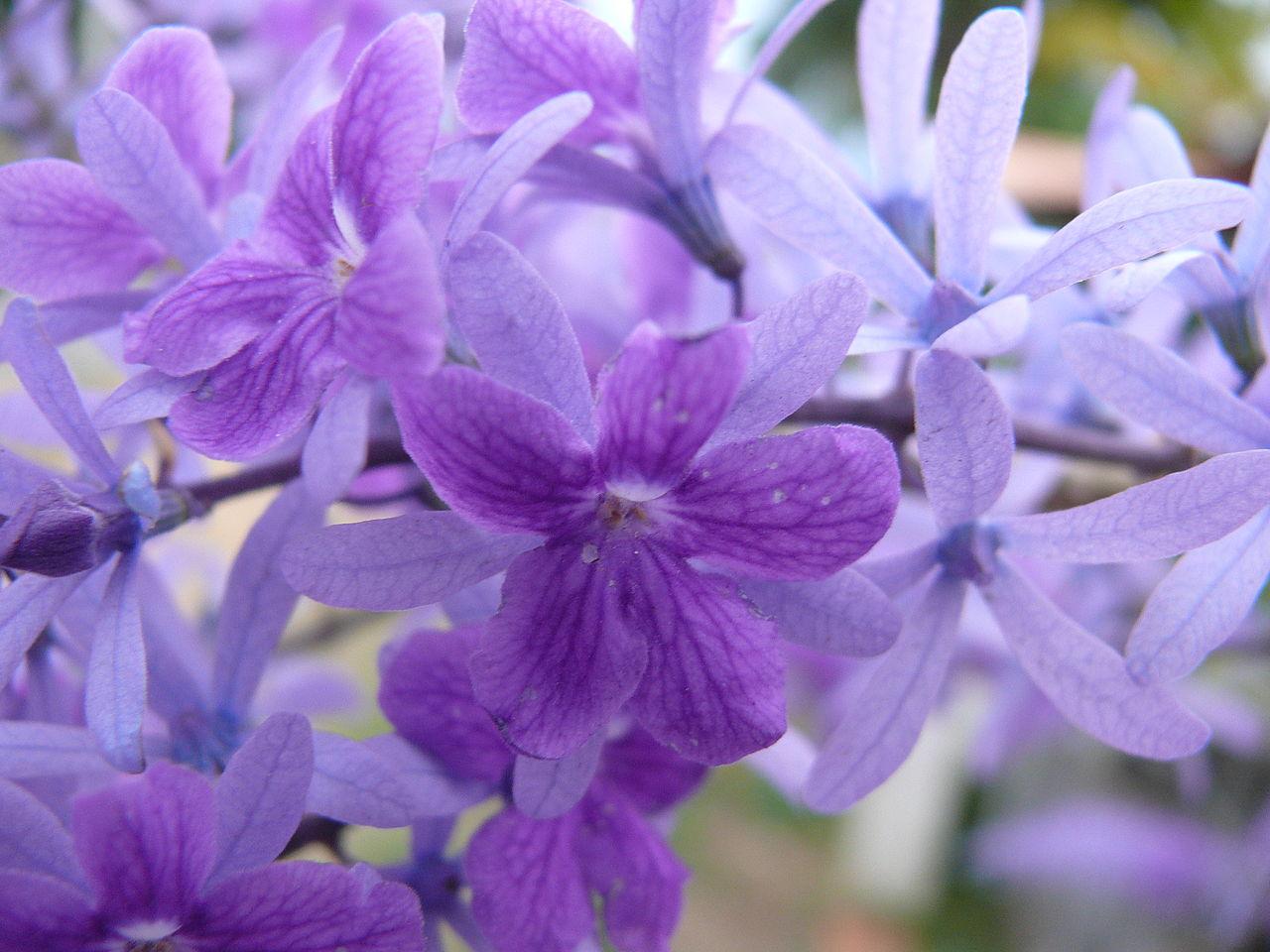 Fichier:Fleurs violettes kourou zoom.jpg — Wikipédia