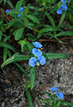 Flickr - ggallice - Whitemouth Dayflower.jpg