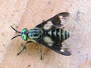 Tabanidae wikip dia - Insecte vert volant ...