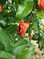 Flor da romã com abelha arapuá.jpg