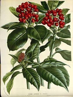 アオキ (植物)の画像 p1_13