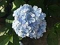 Flowers of Hydrangea macrophylla 20200616.jpg