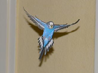 Bird flight - The budgerigar's wings, as seen on this pet female, allow it excellent manoeuvrability.