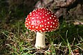 Fly Agaric fungus - geograph.org.uk - 263319.jpg