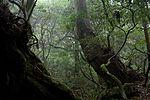 Forest in Yakushima 46.jpg