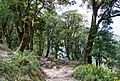 Forest on climb to Timang - Annapurna Circuit, Nepal - panoramio.jpg