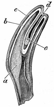 Vorderzahn eines Pferdes. a: Knochensubstanz b: Zahnbein c: Schmelz d: Kunde