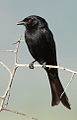 Fork-tailed Drongo, Dicrurus adsimilis, at Pilanesberg National Park, South Africa (16023293076).jpg