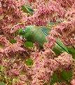 Forpus conspicillatus (Perico de anteojos) - Flickr - Alejandro Bayer (5).jpg