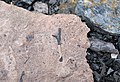 Fossiliferous mudshale (Price Formation, Lower Mississippian; Cloyds Mountain roadcut, Valley Coalfield, Virginia, USA) 26 (30494502755).jpg