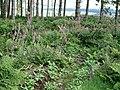 Foxglove glade - geograph.org.uk - 505478.jpg