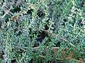 Frankenia palmeri cultivated.jpg