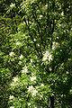 Fraxinus ornus JPG2b.jpg