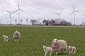 Friedrichsgabekoog schafe haus windraeder 01.04.2012 15-11-09.jpg