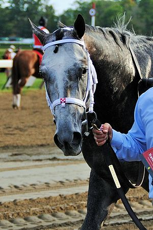 Frosted (horse) - Frosted after the 2015 Travers