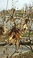 Fruits of box elder (Acer negundo).jpg