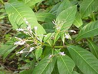 Fuchsia arborescens0